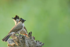 Bird (sooty-headed bulbul) perching on beautiful branch Royalty Free Stock Photography