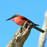 Carmine bee eater. Bird southern carmine bee-eater iin Chobe national park in Botswana Stock Photography