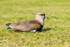 Bird southern lapwing (Vanellus chilensis) Royalty Free Stock Image