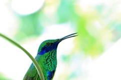 Bird, sparkling violet ear hummingbird (colibri) Royalty Free Stock Photography