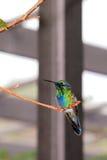 Bird, sparkling violetear hummingbird Royalty Free Stock Image