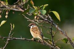 Bird, Sparrow, Branch, Beak Stock Photo