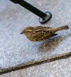 Bird, Sparrow, Fauna, House Sparrow Royalty Free Stock Photos