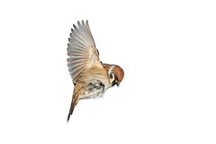 A bird a Sparrow flies to spread its wings. On white isolated background stock photo