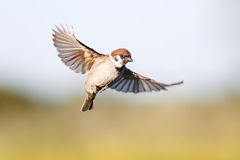 bird Sparrow flutters in the sky in the summer royalty free stock image