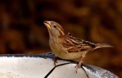 Bird, Sparrow, House Sparrow, Beak Stock Photography