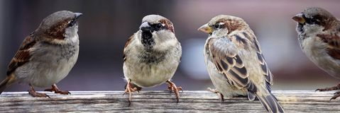 Bird, Sparrow, House Sparrow, Fauna
