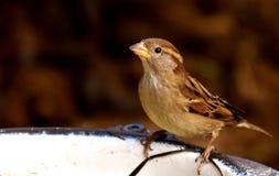 Bird, Sparrow, House Sparrow, Fauna Stock Photos