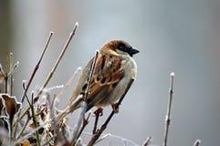 Bird, Sparrow, House Sparrow, Fauna Stock Images