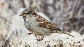 Bird, Sparrow, House Sparrow, Finch Stock Photos