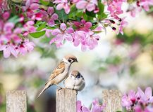 Beautiful natural background with birds sparrows sit on a wooden fence in a rustic garden surrounded by pink flowers veto apple on