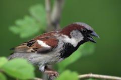 A bird a Sparrow Stock Photos