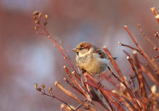 The bird Sparrow sits among the branches bathed in  sunlight Stock Images