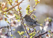 Bird Sparrow sits in the spring garden on a branch of cherry blossoms Sunny warm morning. Little bird Sparrow sits in the spring garden on a branch of cherry royalty free stock photos
