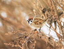 Sparrow sitting in the bushes in winter, and eats seeds Artemisi. Bird Sparrow sitting in the bushes in winter, and eats seeds Artemisia Royalty Free Stock Photos