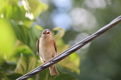 Bird. Sparrow sitting on a wire Royalty Free Stock Photos