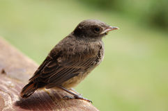 Bird. The sparrow sitting on the wooden table Stock Photo