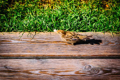 Bird sparrow on a wooden surface Stock Photo