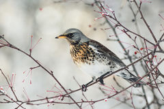 Bird speckled thrush sitting on a branch with berries in winter Stock Photo