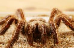 Bird spider (Avicularia spec.). Big bird spider (Avicularia spec.) from Brasil royalty free stock images