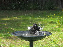 Bird bath with Magpie splashing Stock Image