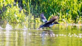 Bird splashes water. Bird duck splashes water while starting to fly Stock Image