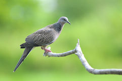 Bird (Spotted Dove) , Thailand Royalty Free Stock Photo