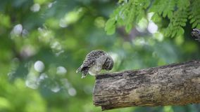 Bird spotted owlet; owl on a tree. Bird spotted owlet, owl brown color perched on a tree in the garden stock footage