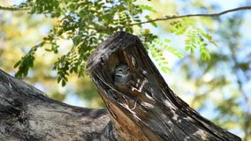 Bird Spotted owlet, Owl in hollow tree trunk stock video footage