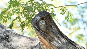 Bird Spotted owlet; Owl in hollow tree trunk stock video