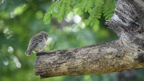 Bird Spotted owlet; Owl on a tree stock video footage