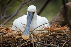 Bird spring behaviour in the nest. Eurasian Spoonbill, Platalea leucorodia, sitting on the nest, detail portrait of bird with long. Flat bill. Wildlife scene royalty free stock images