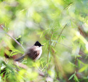 A bird on spring branch Royalty Free Stock Images