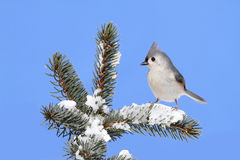 Bird On A Spruce Tree With Snow Royalty Free Stock Photo