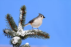 Bird On A Spruce Tree With Snow Royalty Free Stock Image