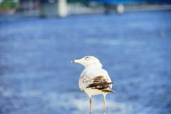 Bird and st johns river. In Jacksonville downtown in Florida, USA Stock Image