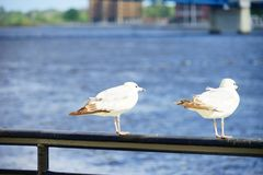 Bird and st johns river. In Jacksonville downtown in Florida, USA Stock Photography