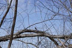 Bird stand on the dead tree Royalty Free Stock Photo