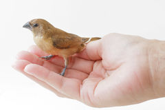 Bird stand on hand Stock Images