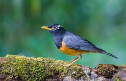 Bird standing on branch. Black-breasted ThrushTurdus dissimilis, A beautiful bird standing on timber at Doi Ang Khang, northern Thailand Royalty Free Stock Photos