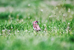 Bird standing in the grass Royalty Free Stock Image