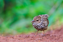 Bird standing on ground. Indochinese Bushlark  Mirafra erythrocephala, a beautiful brown bird in meadow, Thailand Stock Photography