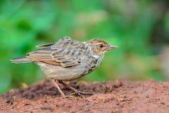 Bird standing on ground. Indochinese BushlarkMirafra erythrocephala, a beautiful brown bird in meadow,Thailand Stock Photos