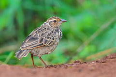 Bird standing on ground. Indochinese BushlarkMirafra erythrocephala, a beautiful brown bird in meadow,Thailand Royalty Free Stock Photos