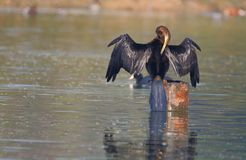 Darter bird. The bird is standing in lake. stretching the wings. drying wet feathers spreading. this photo click at menar lake, menar, rajasthan, India stock photo
