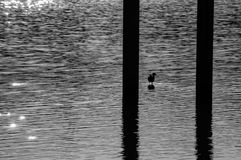 Bird standing on a lake. Bird standing in the water of a lake in black and white Stock Photo
