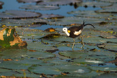 Bird Standing on lotus leaf. Pheasant-tailed Jacana, Hydrophasianus chirurgus, beautiful bird Standing on lotus leaf Stock Images