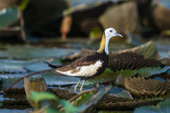 Bird Standing on lotus leaf. Pheasant-tailed Jacana, Hydrophasianus chirurgus, beautiful bird Standing on lotus leaf Stock Image