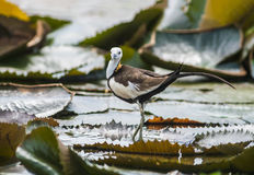 Bird Standing on lotus leaf. Pheasant-tailed Jacana, Hydrophasianus chirurgus, beautiful bird Standing on lotus leaf Royalty Free Stock Photography