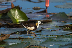Bird Standing on lotus leaf. Pheasant-tailed Jacana, Hydrophasianus chirurgus, beautiful bird Standing on lotus leaf Royalty Free Stock Photo
